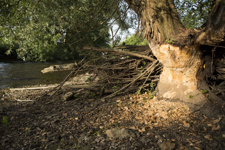 Un castor peut à lui seul couper un arbre de plusieurs dizaines d'années