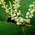 espèce invasive : le renouée du Japon
