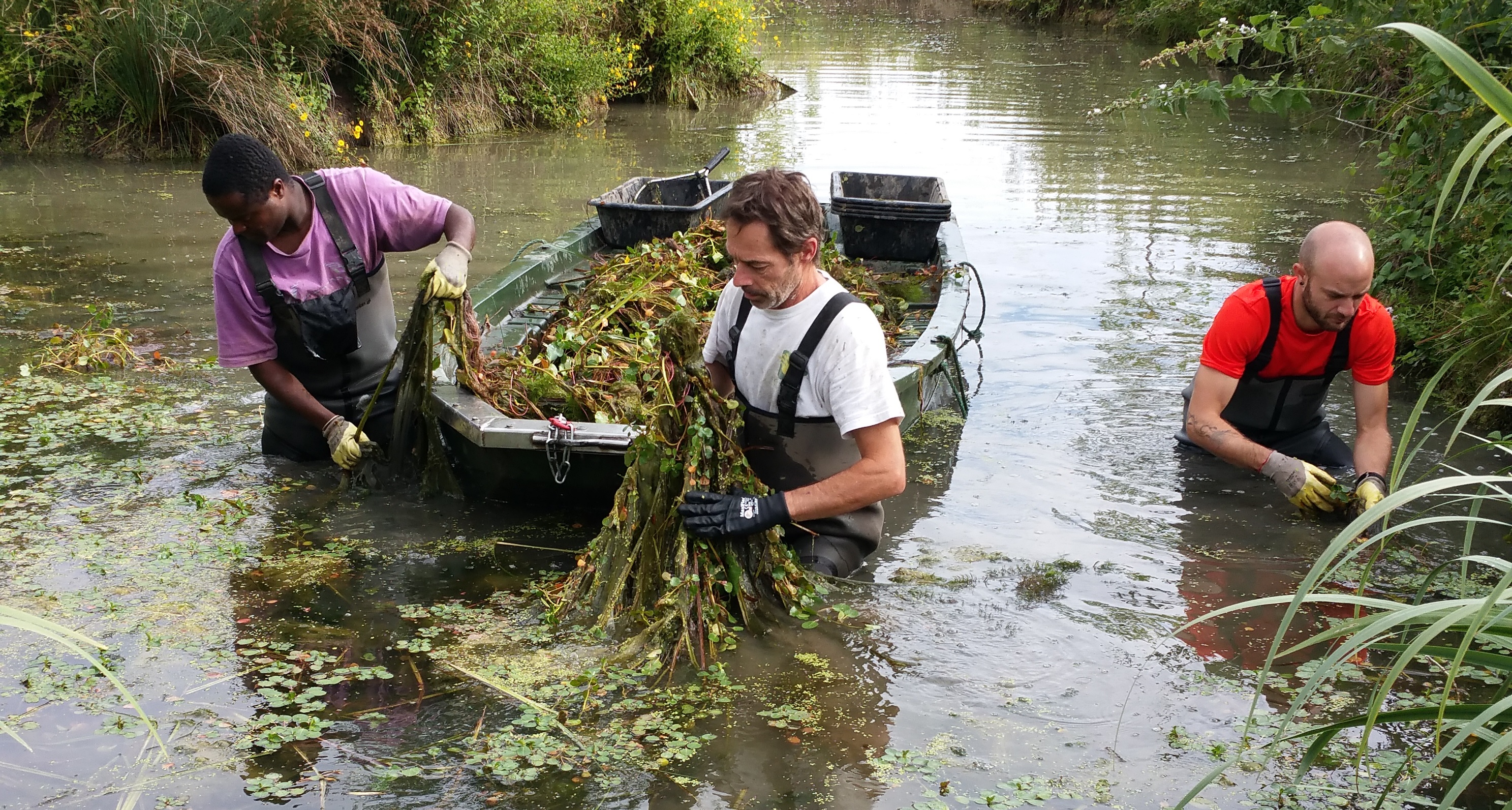 la jussie envahie les cours d'eau, c'est à la main qu'ils sont désengorgés